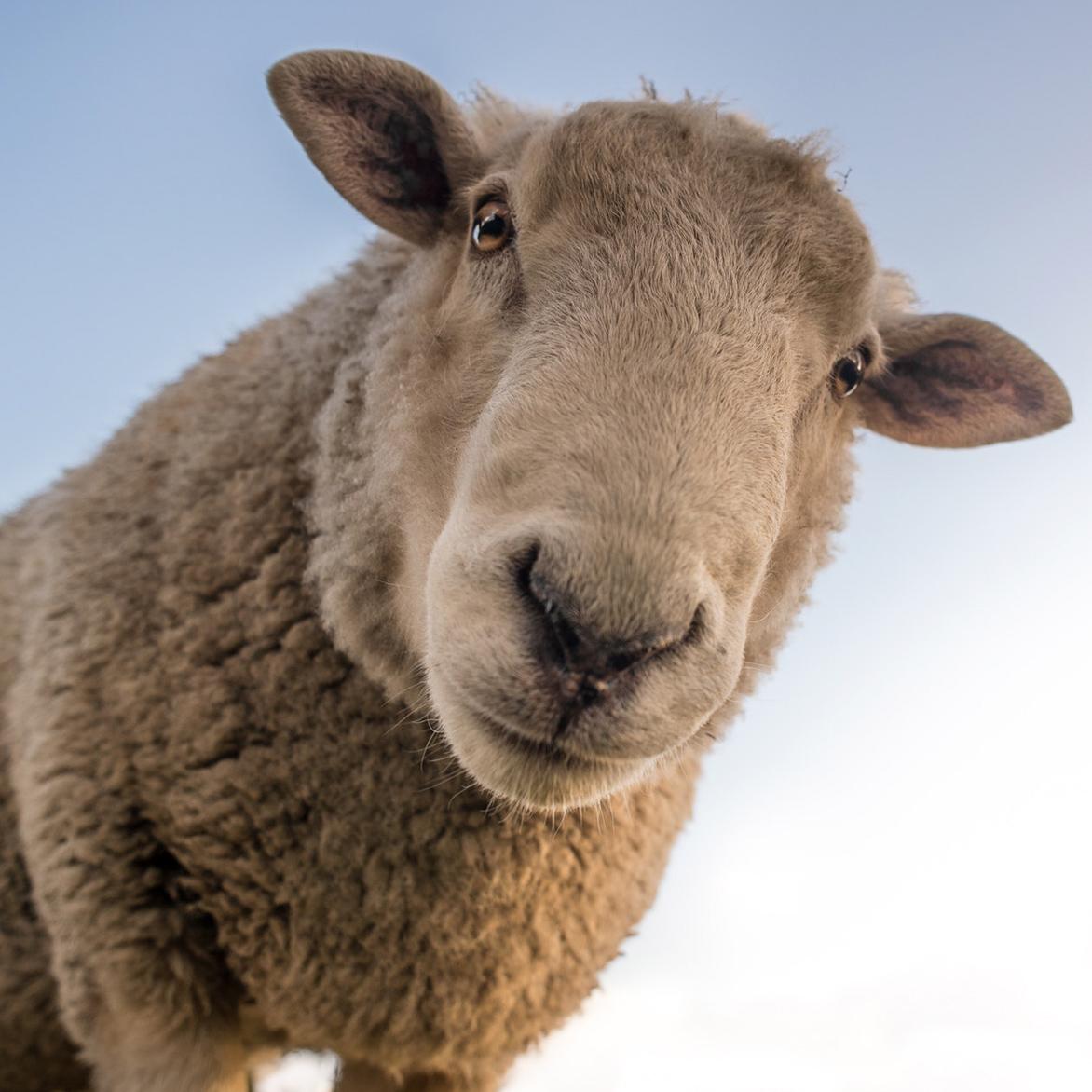 Овца картинка прикольная, днем